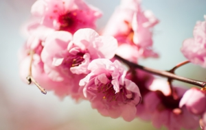 Peach Flowers Images