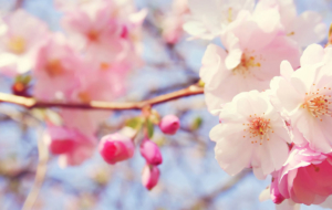 Peach Flowers Pictures
