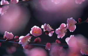 Peach Flowers Wallpaper
