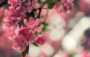 Peach Flowers Wallpapers HD