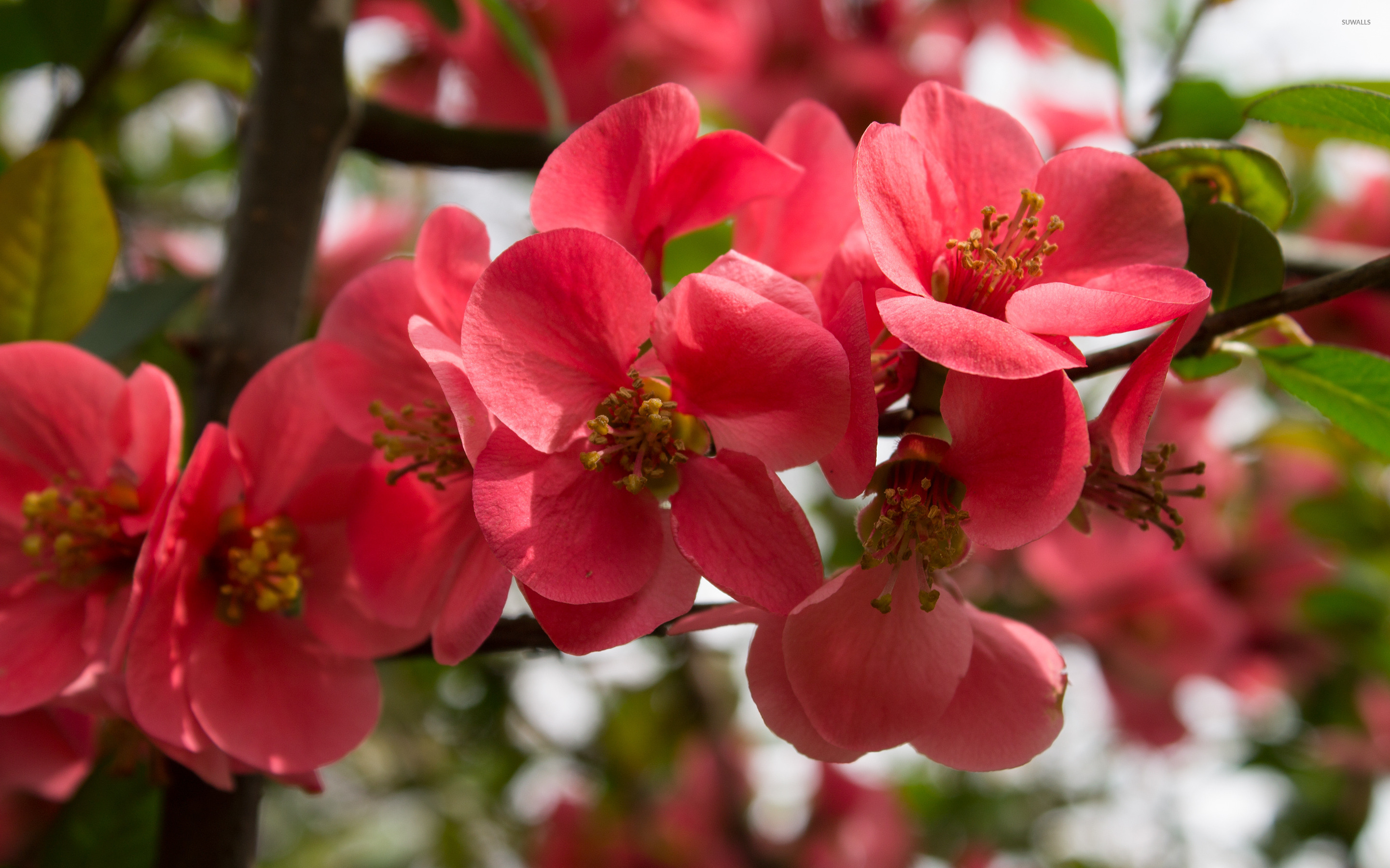 peach flowers hd wallpapers