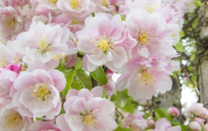 Peach Flowers Widescreen