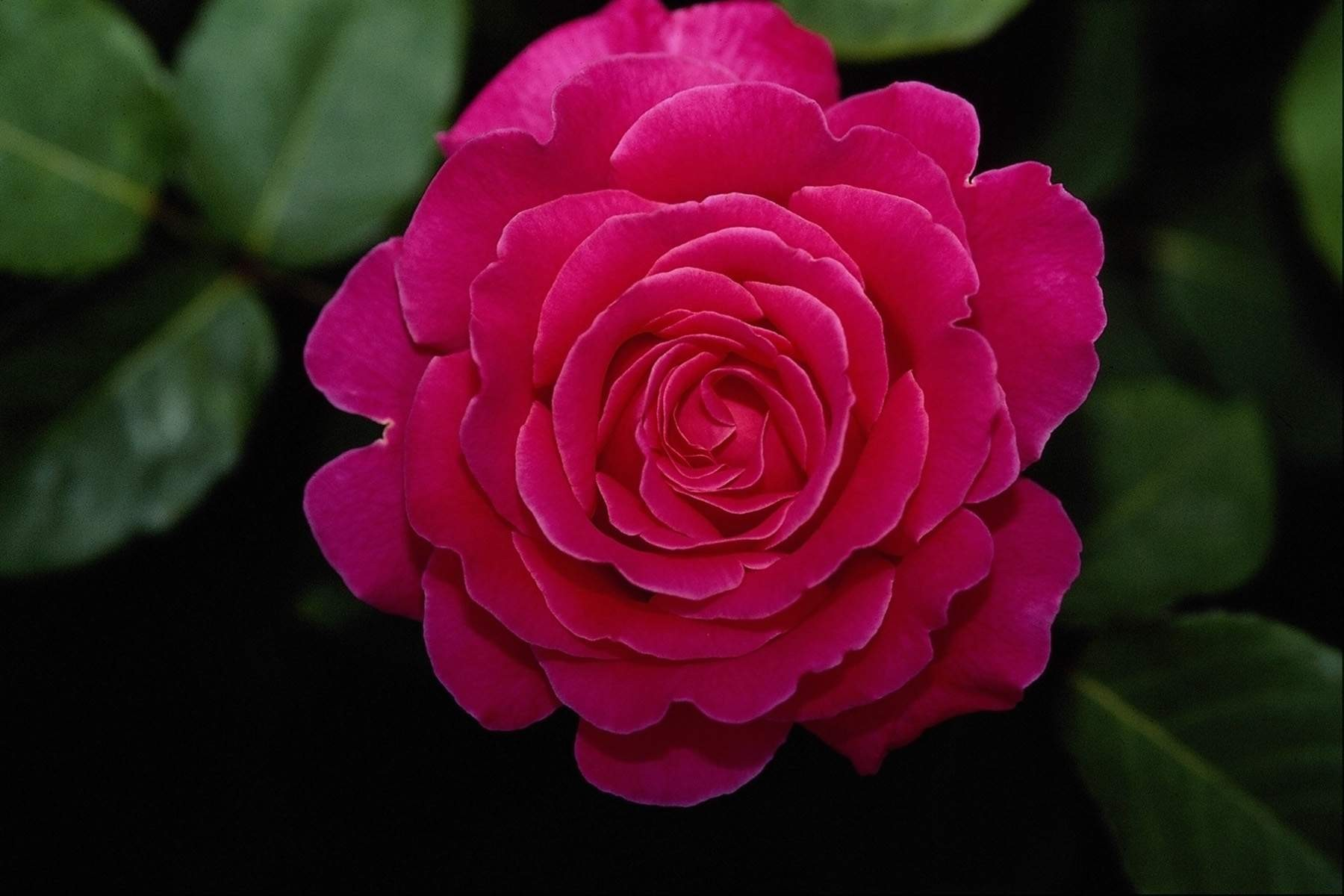 Red Rose Wallpapers Pictures Images: Pink Rose HD Wallpapers