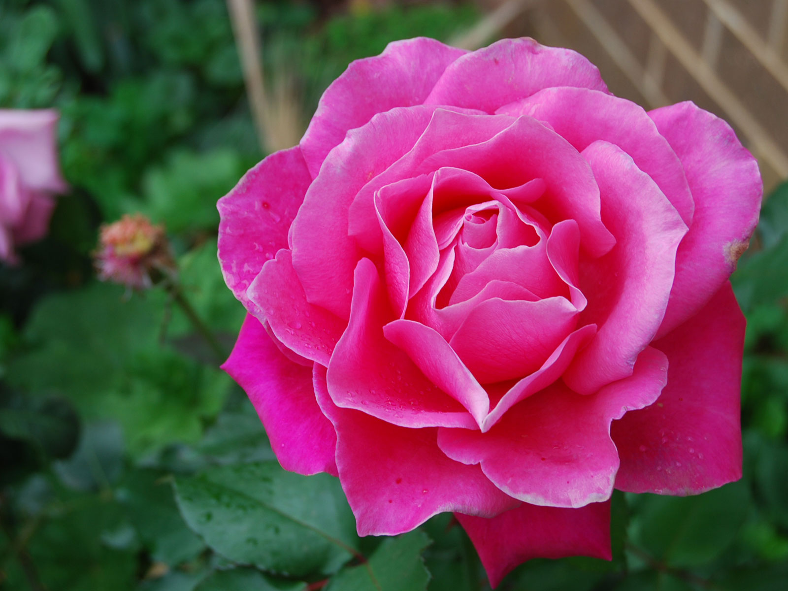 Pink rose hd wallpapers - Red flower desktop wallpaper ...