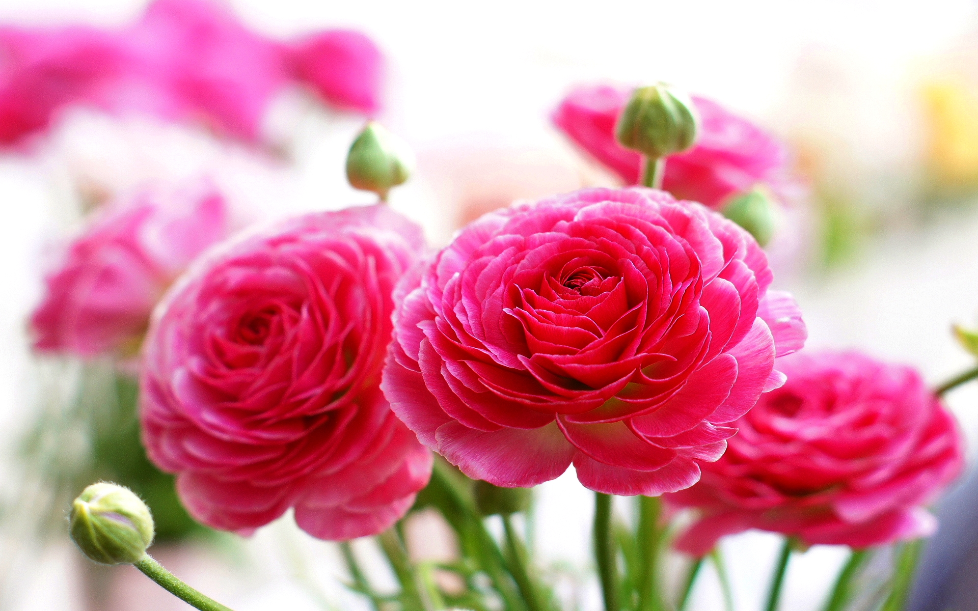 Pink rose hd wallpapers - Pink rose hd wallpaper ...