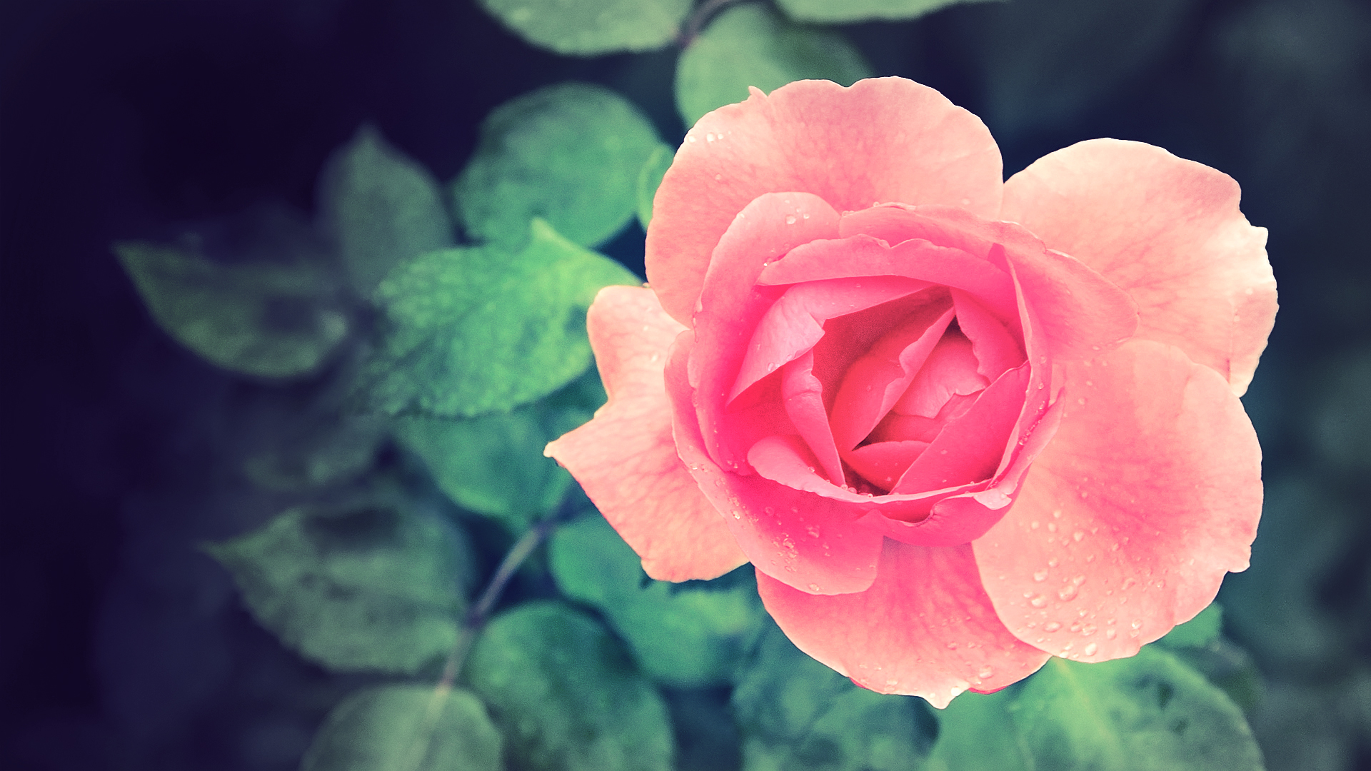 hipster wallpaper pink roses Gallery Pink Roses Wallpaper Tumblr