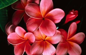 Plumeria HD Background