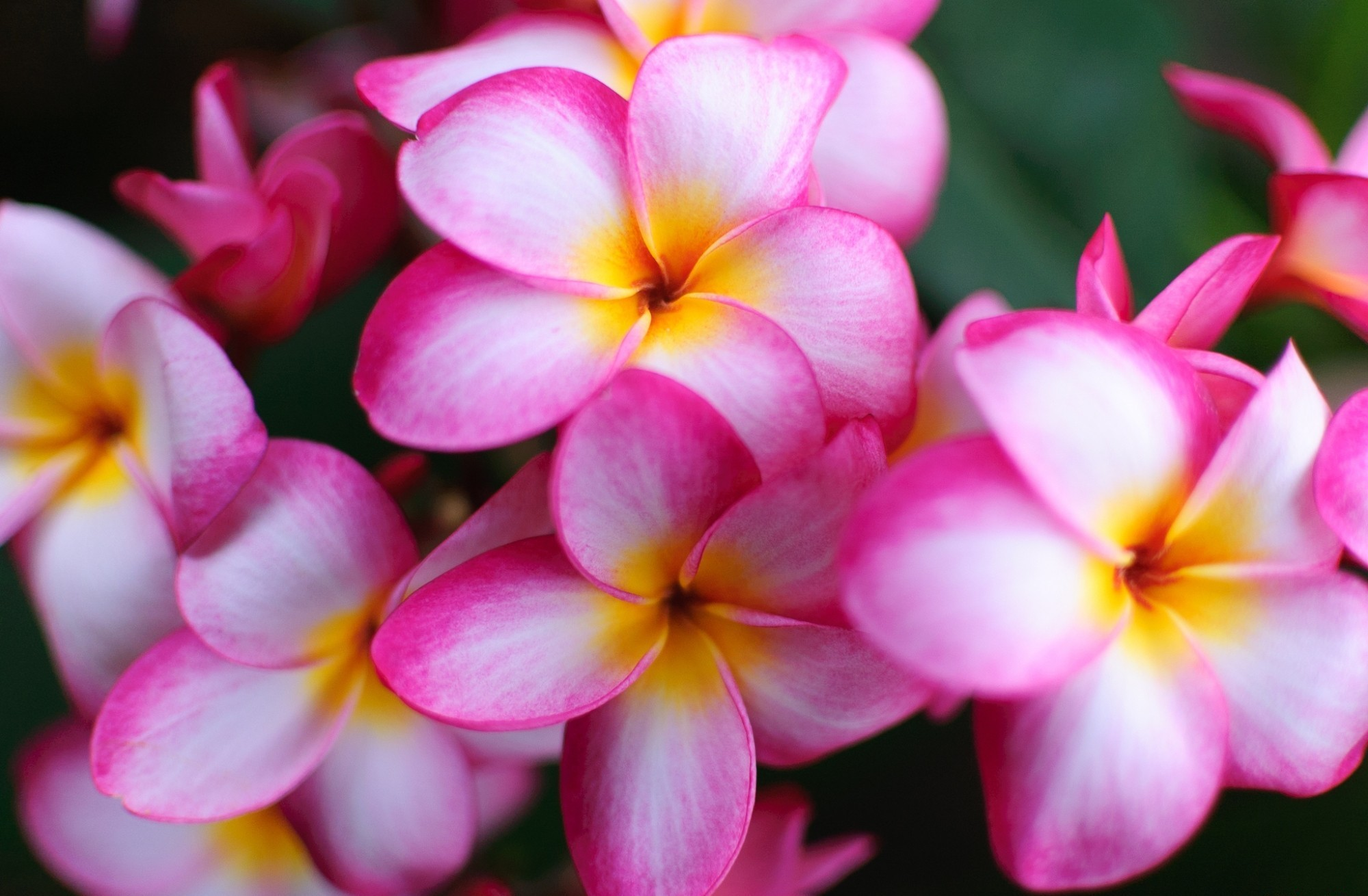 red plumeria wallpaper - photo #32