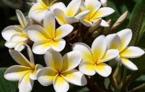 Plumeria High Definition