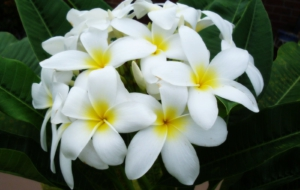 Plumeria High Definition Wallpapers
