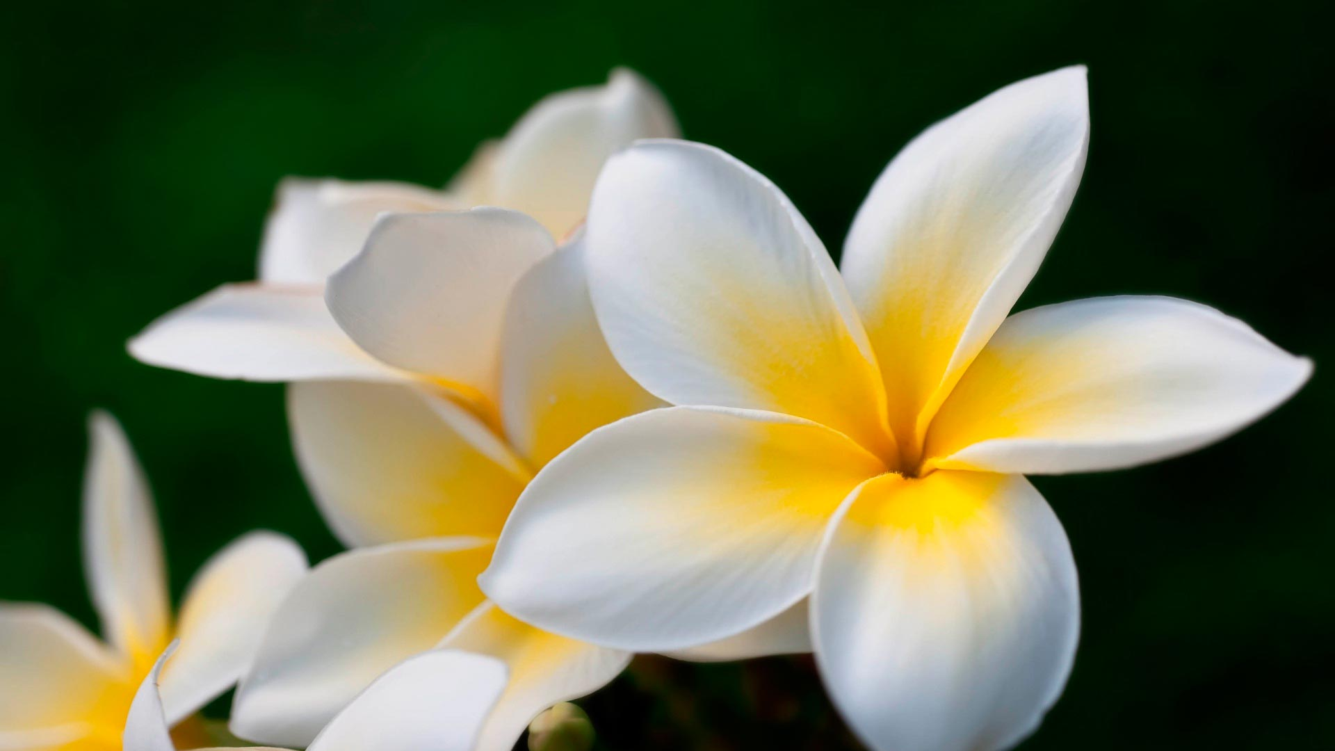 Plumeria HD Wallpapers