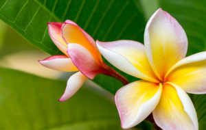 Plumeria Wallpapers HD