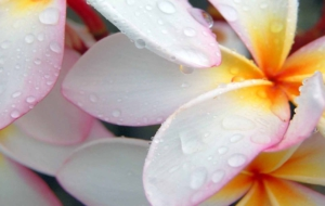 Plumeria For Desktop