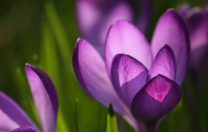 Purple Flower Full HD