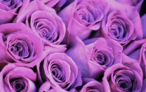 Purple Rose 4K