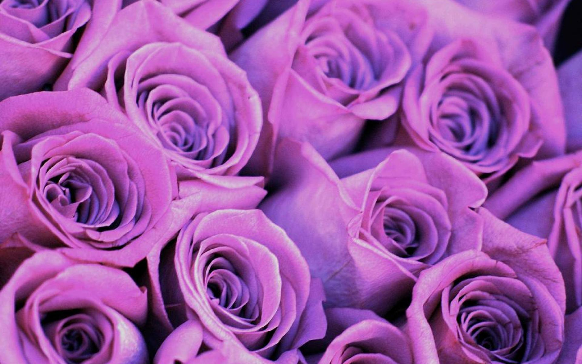 wallpapers of purple roses - photo #28