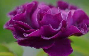 Purple Rose High Definition