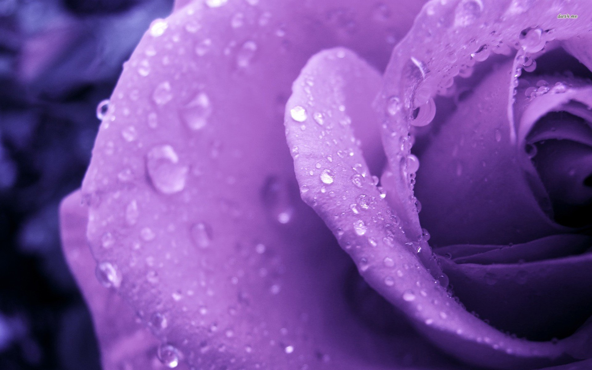 Purple Roses Background Images: Purple Rose HD Wallpapers