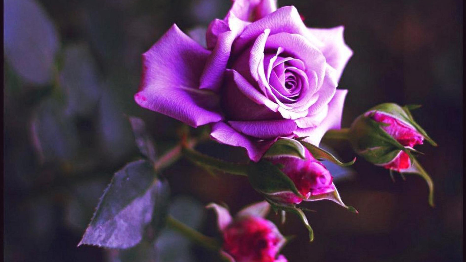 wallpapers of purple roses - photo #31