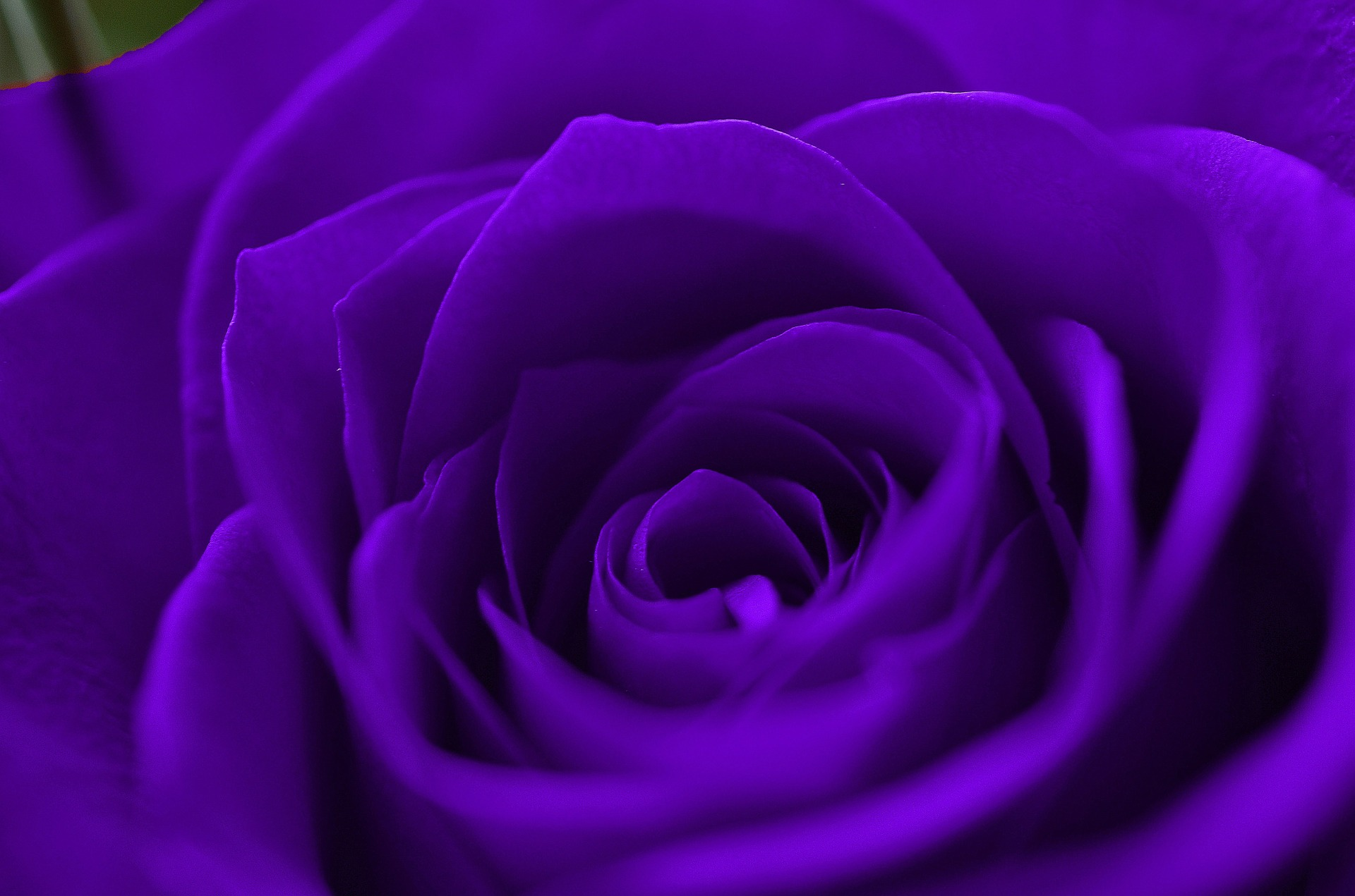Purple Rose HD Wallpapers