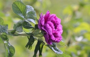 Purple Rose Full HD
