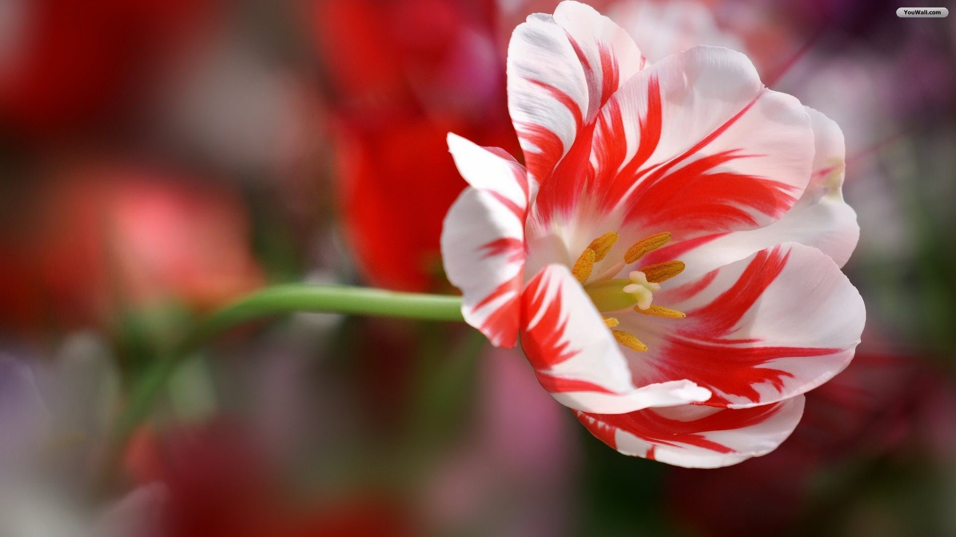 Red Flower HD Wallpapers