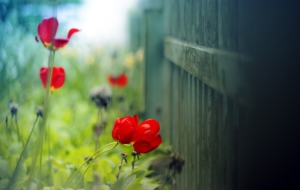 Red Flower Widescreen