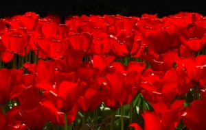 Red Tulips 4K