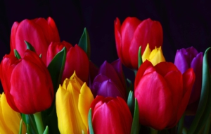 Red Tulips HD Background