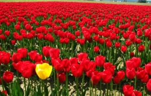 Red Tulips HD Desktop