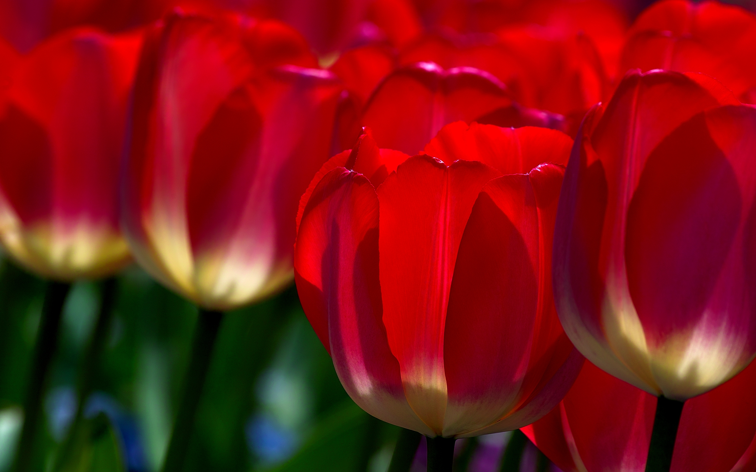 Red Tulips HD Wallpapers
