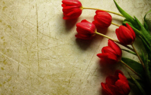 Red Tulips Wallpapers HD