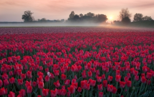 Red Tulips For Desktop