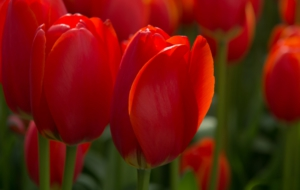 Red Tulips Full HD