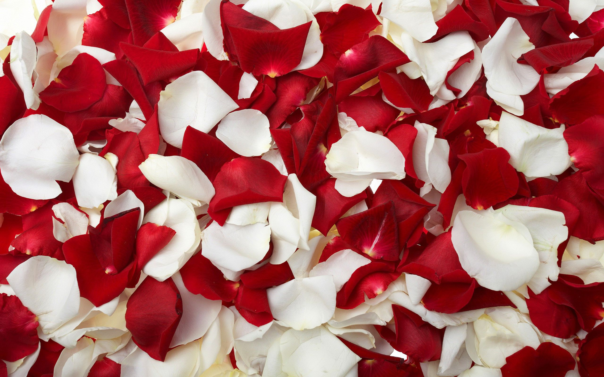 Wallpapers Rose Petals Images