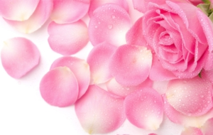 Rose Petals Wallpaper