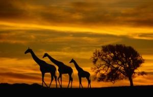 Giraffes And Tree Silhouette