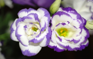 Violet Flowers High Definition Wallpapers