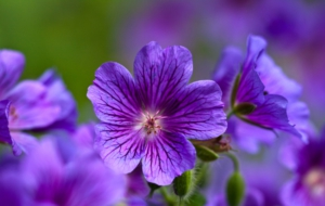 Violet Flowers Wallpaper