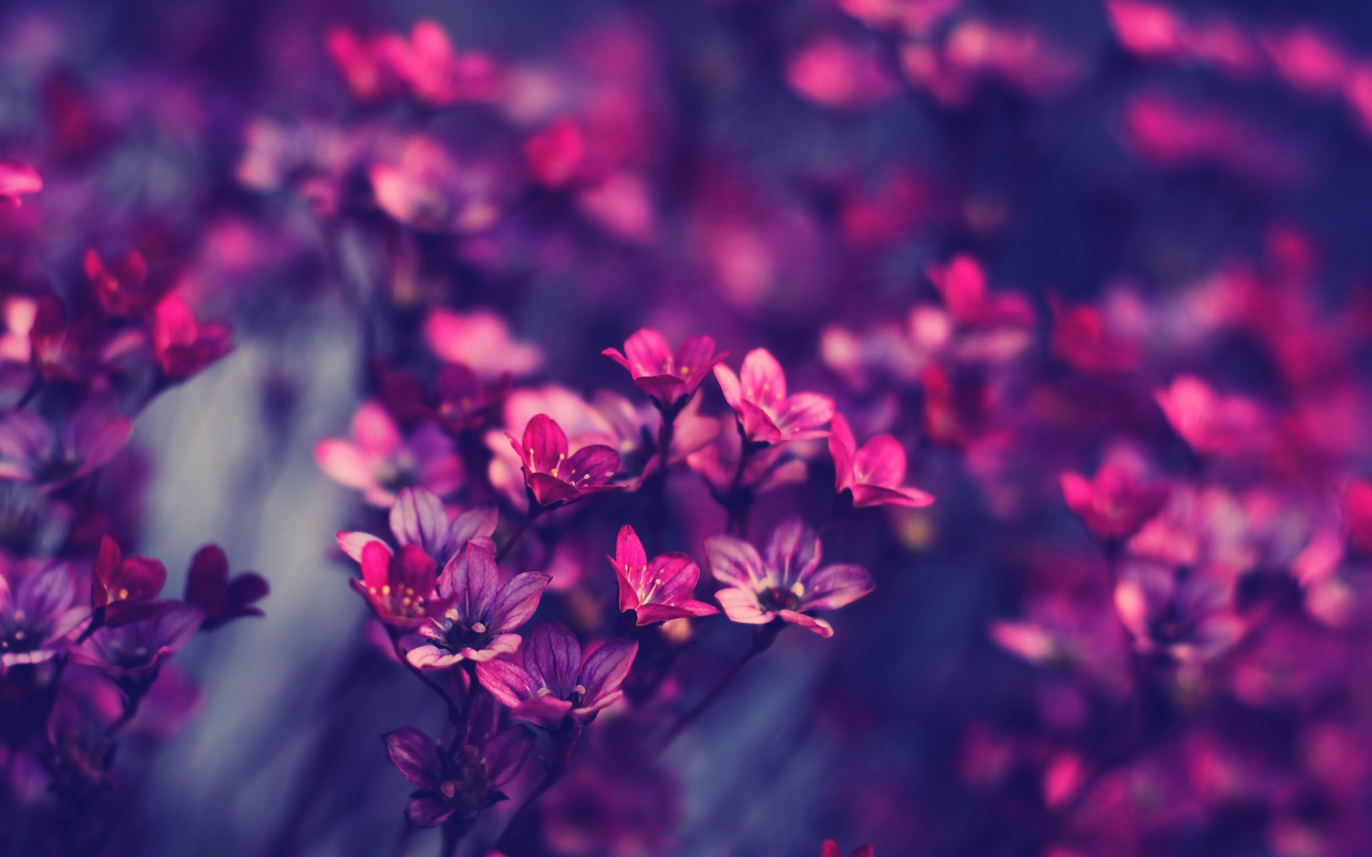 violet flowers hd wallpapers