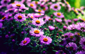 Violet Flowers Full HD