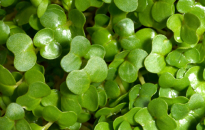 Watercress Images