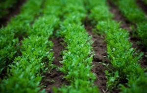 Watercress Wallpaper