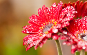 Wet Daisy Pictures