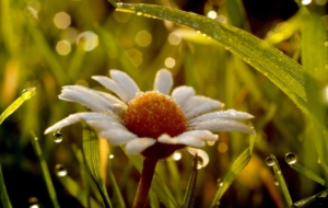 Wet Daisy Wallpapers HD