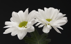 White Flower Desktop