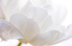 White Flower Photos