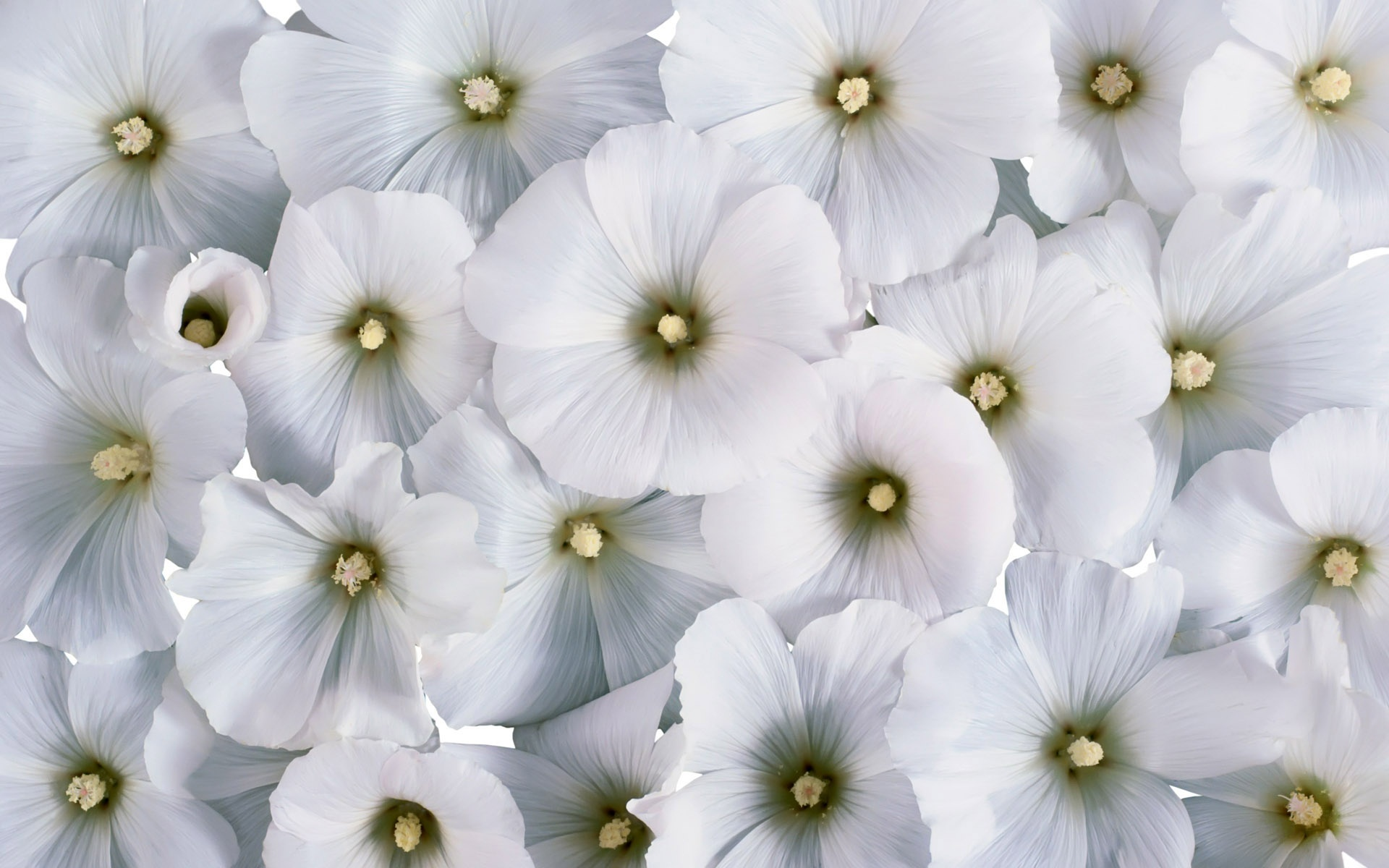 picture of white flower  pivot media, Beautiful flower