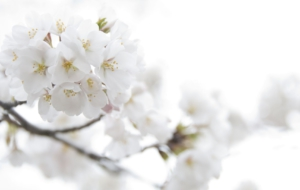 White Flower Wallpapers HD