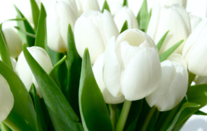White Tulips HD